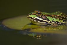 Free Frog Royalty Free Stock Images - 18181509