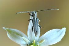 Free Phytoecia Geniculata Stock Image - 18182051