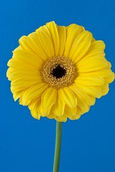 Free Yellow Gerbera Stock Images - 18182914