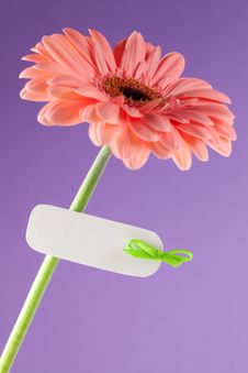 Free Gerbera With White Label Stock Photography - 18183592