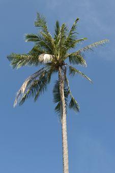 Free Coconut Palm Tree Royalty Free Stock Photo - 18183655