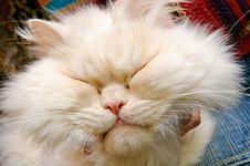 Free Head Of A White Fluffy Cat Stock Images - 18183704