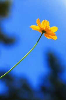 Free Yellow Flower With Blue Sky Royalty Free Stock Photos - 18184198