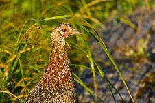 Free Ring-necked Pheasant Female Stock Photo - 18184300