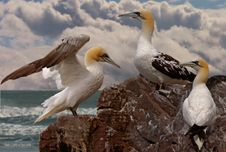Free Three Young Gannets Royalty Free Stock Photography - 18184417