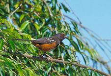 Free Spotted Towhee Stock Photo - 18184420