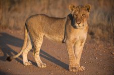 Free Sub Adult Lioness Royalty Free Stock Photography - 18184817