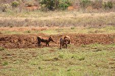 Free Warthog Africa Stock Image - 18184831