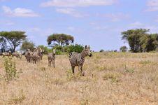 Free Herd Of Zebras In Africa Royalty Free Stock Photos - 18184948