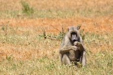 Free Baboon Monkey Africa Royalty Free Stock Images - 18184989