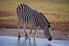 Free Drinking Zebra Royalty Free Stock Photos - 18185308