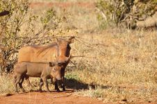 Free Warthog Africa Royalty Free Stock Photography - 18185327