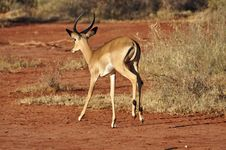 Free Gazelle Africa Royalty Free Stock Image - 18185346