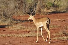 Free Gazelle Africa Royalty Free Stock Photography - 18185367
