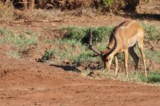 Free Gazelle Africa Royalty Free Stock Photography - 18185497