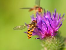 Free Bur Thorny Flower With Bee. Royalty Free Stock Photo - 18185605