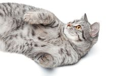 Free Isolated Grey Cat Royalty Free Stock Photography - 18186007