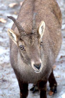 Free Ibex Royalty Free Stock Photos - 18186238