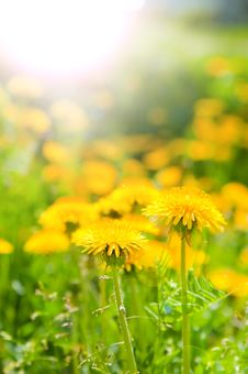 Dandelions In Beams Of The Morning Sun Stock Photography