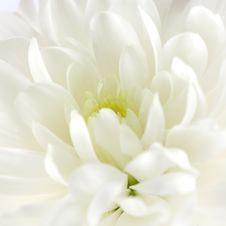 Free Chrysanthemum Stock Photo - 18186580