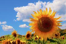 Sunflower Flower Stock Images