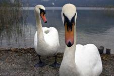 Swan Next To A Lake Royalty Free Stock Image