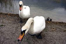 Swan Next To A Lake Stock Photo