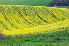Free Wavy Rape Field Stock Photos - 18189133