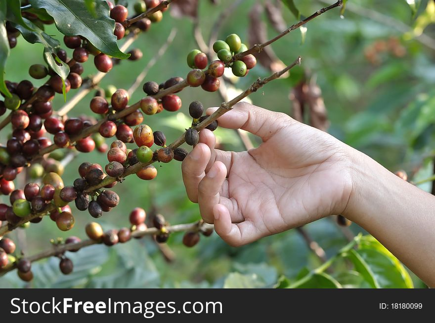 Coffee Beans On A Coffee Tree Free Stock Images Photos