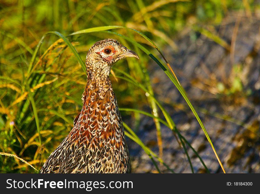 Ring-necked Pheasant female