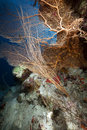 Free Sea Fan, Coral And Fish In The Red Sea. Stock Image - 18193271