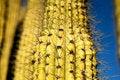 Free Saguaro Cactus Royalty Free Stock Photos - 18198778