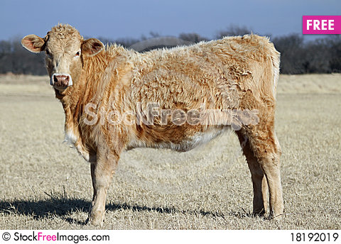 Free Yearling Heifer Royalty Free Stock Images - 18192019