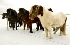 Free Icelandic Horse Stock Images - 18190234