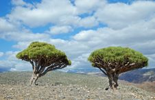 Free Dragon Tree On Socotra Royalty Free Stock Images - 18190419