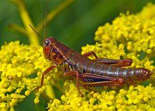 Locust Sitting On Yellow Flower Stock Photo