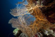 Free Sea Fan, Coral And Fish In The Red Sea. Royalty Free Stock Photography - 18193377