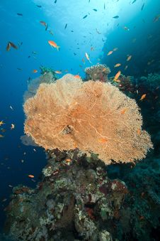 Free Sea Fan, Coral And Fish In The Red Sea. Stock Photos - 18193513