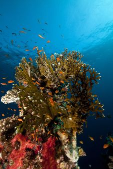 Free Net Fire Coral And Fish In The Red Sea. Royalty Free Stock Photography - 18193577