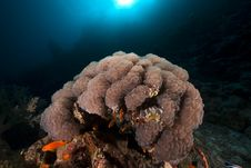 Free Bubble Coral In The Red Sea. Stock Photos - 18193713