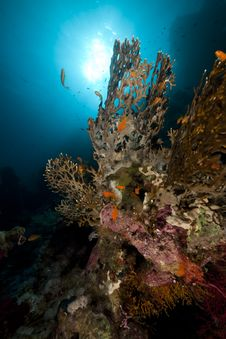 Free Net Fire Coral And Fish In The Red Sea. Royalty Free Stock Photography - 18193847