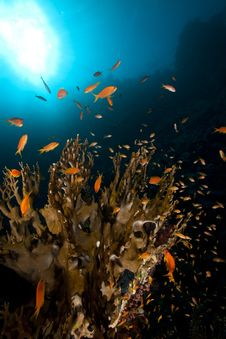 Free Net Fire Coral And Fish In The Red Sea. Royalty Free Stock Photo - 18193875