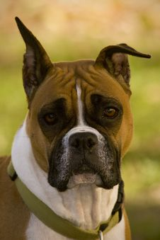 Free Boxer Dog Stock Photography - 18194702