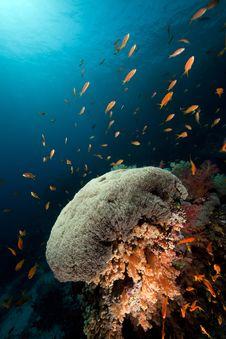 Umbrella Xenia In The Red Sea. Stock Image