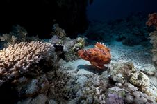 Free Smallscale Scorpiofish In The Red Sea. Royalty Free Stock Image - 18195186