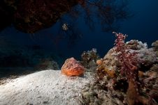 Free Smallscale Scorpiofish In The Red Sea. Stock Photos - 18195213