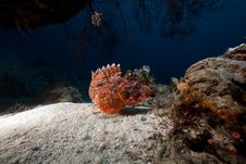 Free Smallscale Scorpiofish In The Red Sea. Royalty Free Stock Photography - 18195237