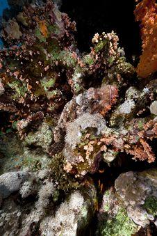 Free Smallscale Scorpiofish In The Red Sea. Royalty Free Stock Photo - 18195295