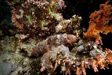 Free Smallscale Scorpiofish In The Red Sea. Royalty Free Stock Images - 18195319