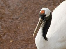 Free Red Crowned Crane Stock Image - 18195981